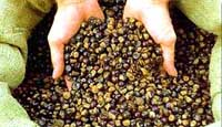 Dried Guarana Seeds
